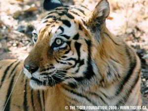 The Tiger Fnd photo